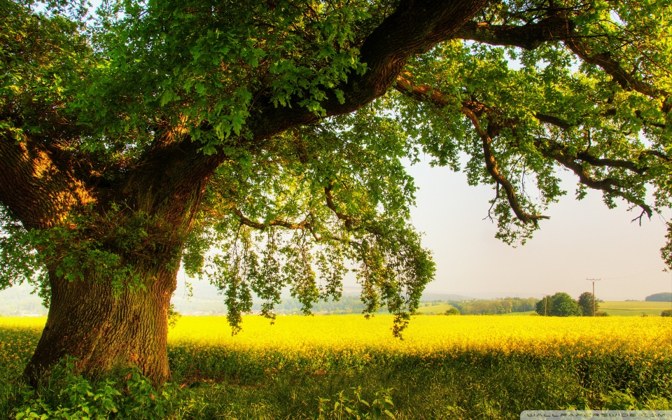 oak_tree_2-wallpaper-960x600.jpg